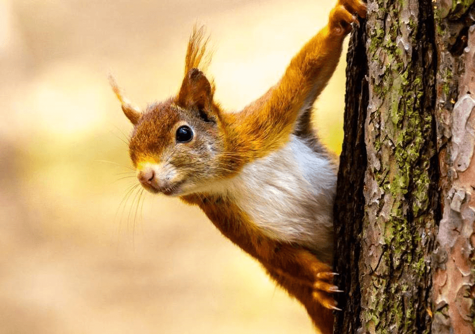 Formby Red Squirrel